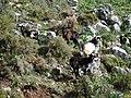 Cabras cerca de Benaocaz - panoramio.jpg