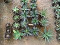 Cadereyta Botanical garden (5760905939).jpg