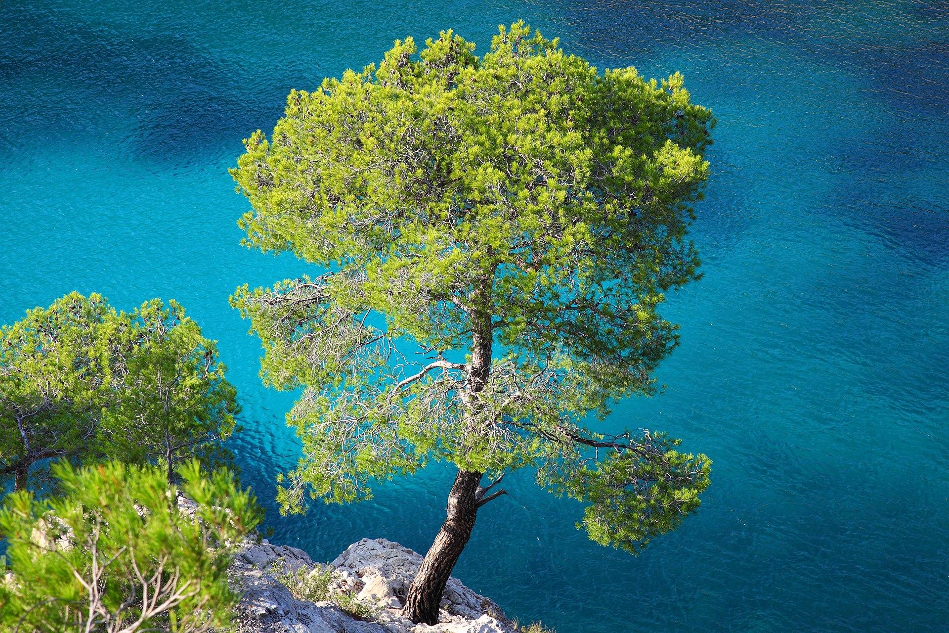 Pinus halepensis - Wik...