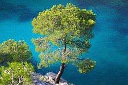 Calanques -- Calanque de Port Pin - Pinus halepensis.jpg