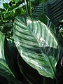Calathea ornata 'Sanderiana' Kalatea 2010-08-01 04.jpg