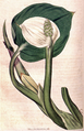 Calla palustris CBM.png