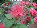 Calliandra emarginata1.jpg