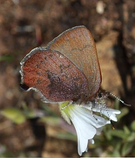 <i>Callophrys augustinus</i> species of insect