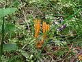 Calocera viscosa.jpg