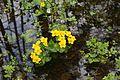 Caltha palustris (Ranunculaceae) (26971019251).jpg