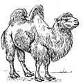 Camel (PSF).jpg