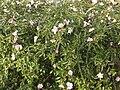 Camellia autumn-flowering double pink.jpg