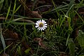 Camomille sauvage-Capitule-Pleney-20141015.jpg