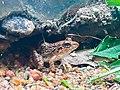 Camouflage Rio Grande leopard frog hiding - Srilanka.jpg