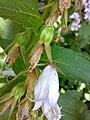 Campanula latifolia 03.jpg