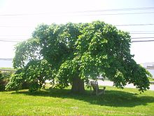 Camperdown Elm, June 2011, Saint John, NB.jpg