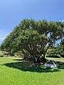 Campsite 7 at Kipahulu Campground, 2020 (e1cacc9c-fb6b-4f1a-928d-74afac99c68b).jpg