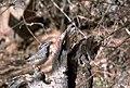 Campylorhynchus brunneicapillus FWS.jpg