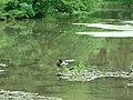 Canard colvert mâle (Anas platyrhynchos) (4).jpg