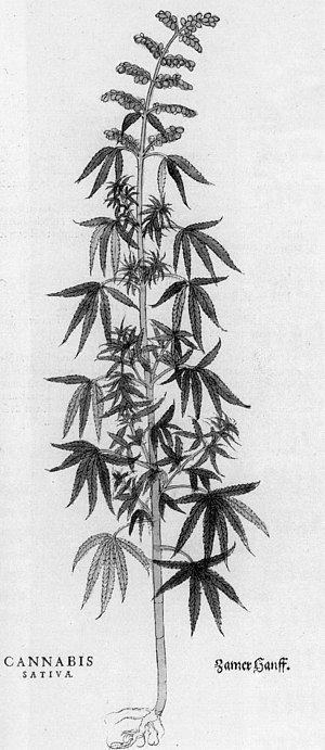 Leonhart Fuchs - Cannabis sativa from De historia stirpium commentarii.