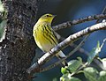 Cape May Warbler (37652150896).jpg