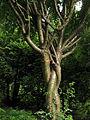 Caragana arborescens Syrets1.JPG