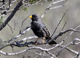 Carbonated Sierra-finch (Phrygilus carbonarius) (15775486009).jpg