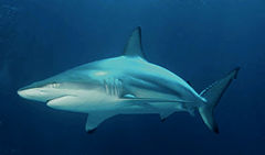 240px carcharhinus limbatus (2)