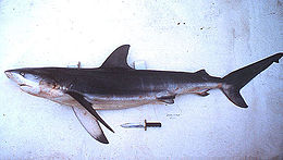A dark gray shark lying on its side against a white background, showing long, sickle-shaped pectoral fins