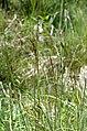Carex.panicea.2.jpg