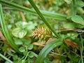 Carex demissa inflorescens (4).jpg