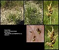 Carex divisa.jpg