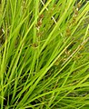 Carex elongata plant (3).jpg