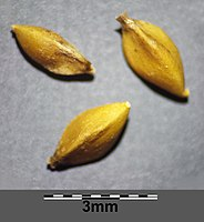 Carex melanostachya sl48.jpg