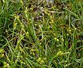 Carex pallescens L. (9376433094).jpg