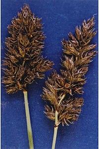 Carexsimulata.jpg