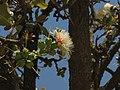 Careya Arborea017.jpg