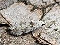 Carpatolechia alburnella - Suffused groundling (42077529140).jpg