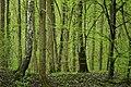 Carpinus betulus - forest.jpg