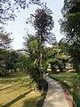 Caryota mitis taken in Fuzhou.JPG