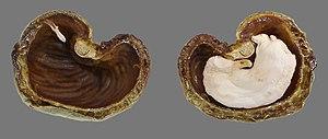 300px-Cashew_Brazil_nut_cut