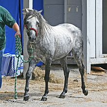Caspian Stallion (caspians are considered horses, not ponies).jpg