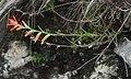 Castilleja integrifolia 3.jpg