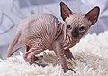 Cat Sphynx. Kittens. img 11.jpg
