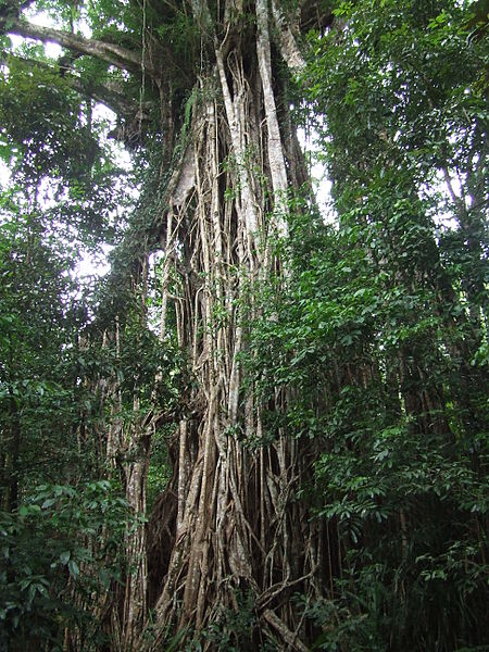 File:Cathedral Fig tree, Atherton Tablelands.JPG