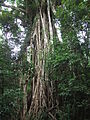 Cathedral Fig tree, Atherton Tablelands.JPG