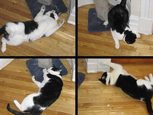 Cat pheromone - A domestic cat demonstrating the effects of catnip such as rolling, pawing, and frisking