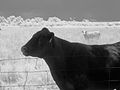 Cattle Near Ft Reno, OK (4245550470).jpg
