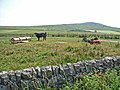 Cattle near Sorbietrees, Newcastleton - geograph.org.uk - 208999.jpg