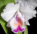 Cattleya quadricolor (38149184195) - cropped.jpg