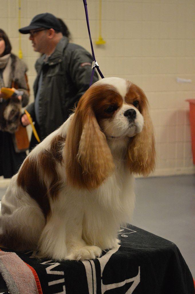 Cavalier Dog Show