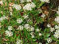 Ceanothus herbaceus (8932989532) 4x3.jpg