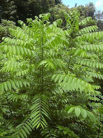 Cedrela - Cedrela odorata foliage