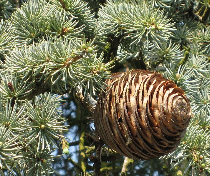 File:Cedrus libani ssp. atlantica 'Glauca Pendula' cone by Line1.jpg